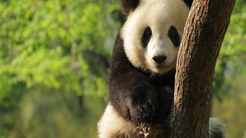 呆萌大熊猫