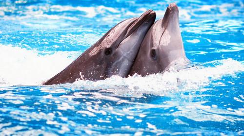 在这里,您会欣赏到可爱的海豚灵活地转呼啦圈,优雅地在水中来几回跳跃