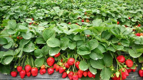 北京草莓采摘园大全_丰台区采摘园_老房草莓采摘园怎么样