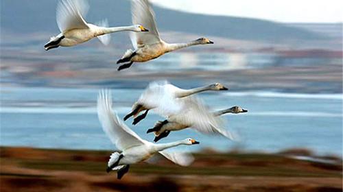 园内有白天鹅,丹顶鹤等多种国家一,二级保护动物,也是迄今为止国内最