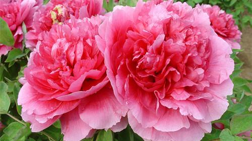 樱花,草花各种花卉,整个园区以高端的牡丹樱花观赏为主线,以七彩世界