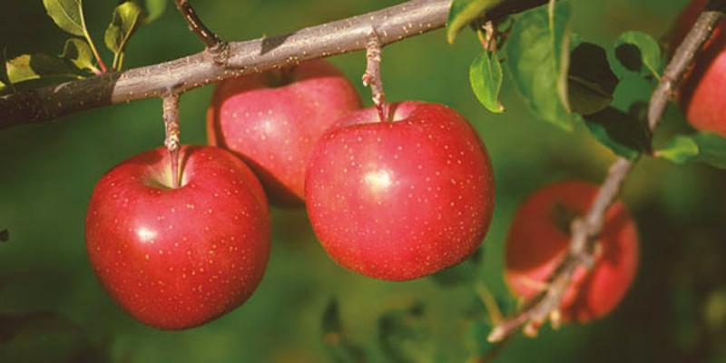 5个苹果图片大全可爱
