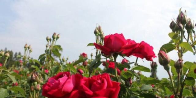 【芬芳玫瑰季】 云南安宁八街玫瑰花庄园体验一日游>