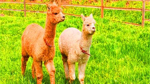 萌萌动物参观学农牧场与【羊驼,奶牛,山羊,土猪,小狗】等可爱牧场动物