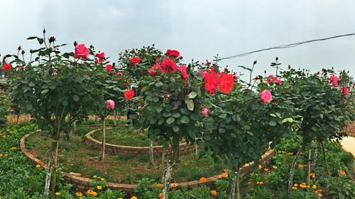 玫瑰长廊观赏道总长4000米,游客从花海入口进入,步行观赏,置身于国内