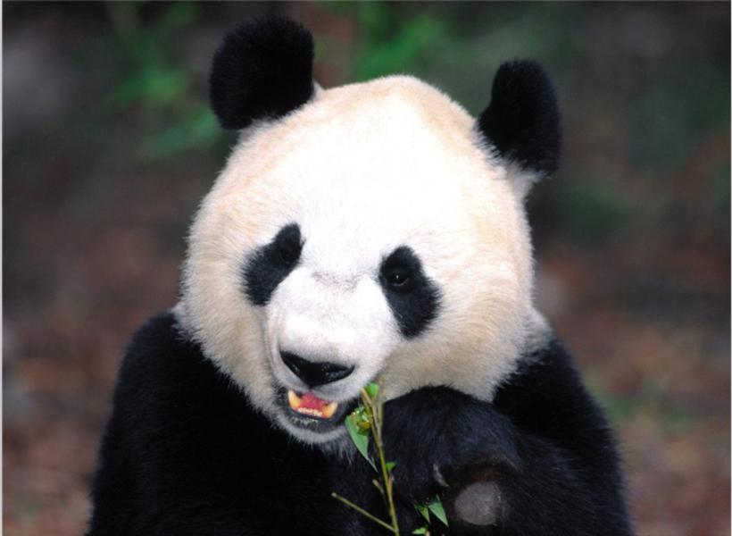 截止2011年10月,全国圈养大熊猫数量为333只.