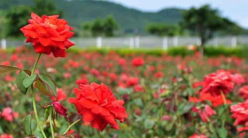 亚龙湾国际玫瑰谷位于海南省三亚市亚龙湾国家旅游度假区内, 占地图片