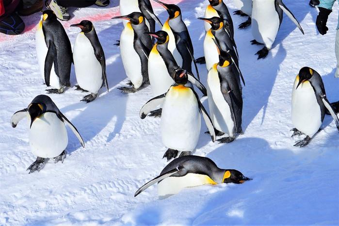 【首发】旭山动物园,呆萌企鹅呆萌散步(完整攻略,超多美图)