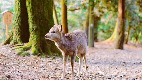 奈良神鹿公园的#魅春节# #情人节摄影展# #旅图换旅费#