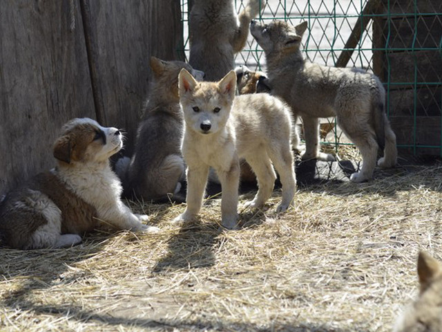 大草原上很难见到的小动物,吼吼,不用担心,这些狼都专门有人看管,并且