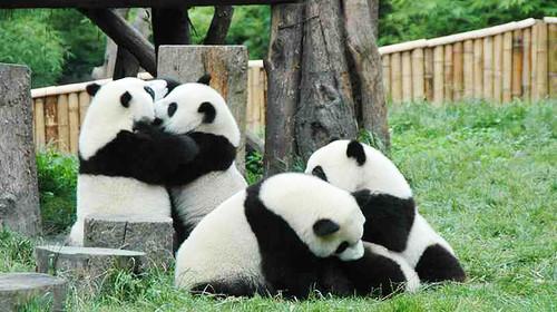 壁纸 大熊猫 动物 500_280