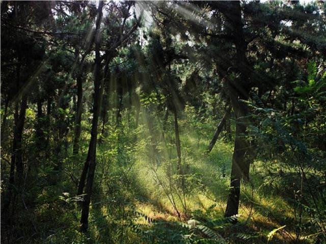 万亩黑松林图片