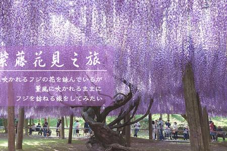 震撼你的眼球 【日本百选绝景】---之足利紫藤 百年老藤树 垂挂的花穗