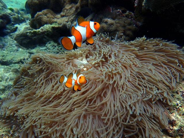 看manta呀看manta,今天的重头戏就是看manta,据说会看到吐。manta sandy这个点基本就是一望无际的平地,底部以沙地为主。有两个比较大型的珊瑚礁,成为了manta们的清洁站,为了防止惊吓到manta,在珊瑚礁的不远处被摆放了一条碎石死珊瑚组成的警戒线,所有的潜水员要求只能在这条线之后,而且尽量处于潜伏状态。不过自由潜的孩子不在限制之列,你可以从海面直下,与manta共舞。 第一潜下去,失望失望,只是瞥到了一条manta,根本吐不出来啊,就那么一条。于是在剩余的时间,大家开始各种造型,各种