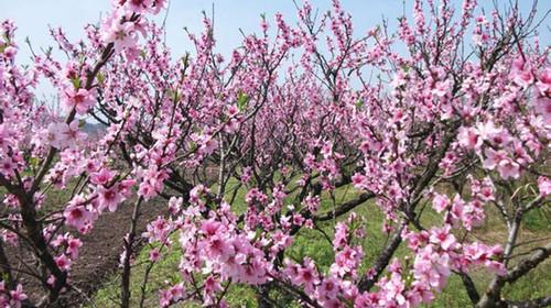 朝一边长得桃树简笔画