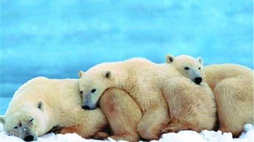 憨态可爱的北极熊