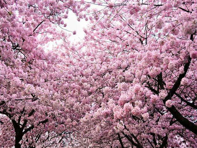 二〇三櫻花園坐落在著名的旅順太陽溝風景區內,占地面積50萬平方米