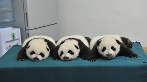 壁纸 大熊猫 动物 狗 狗狗 500_280
