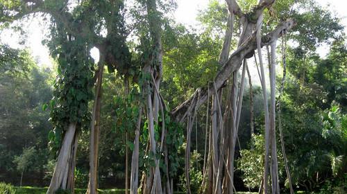 神秘山寨,观赏古榕树,中缅光明佛寺,光明佛塔,祈福神树,千手观音树等