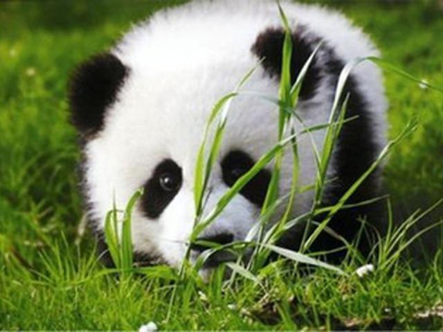 """【都江堰熊猫乐园】参观国宝--""""呆萌""""憨态大熊猫."""