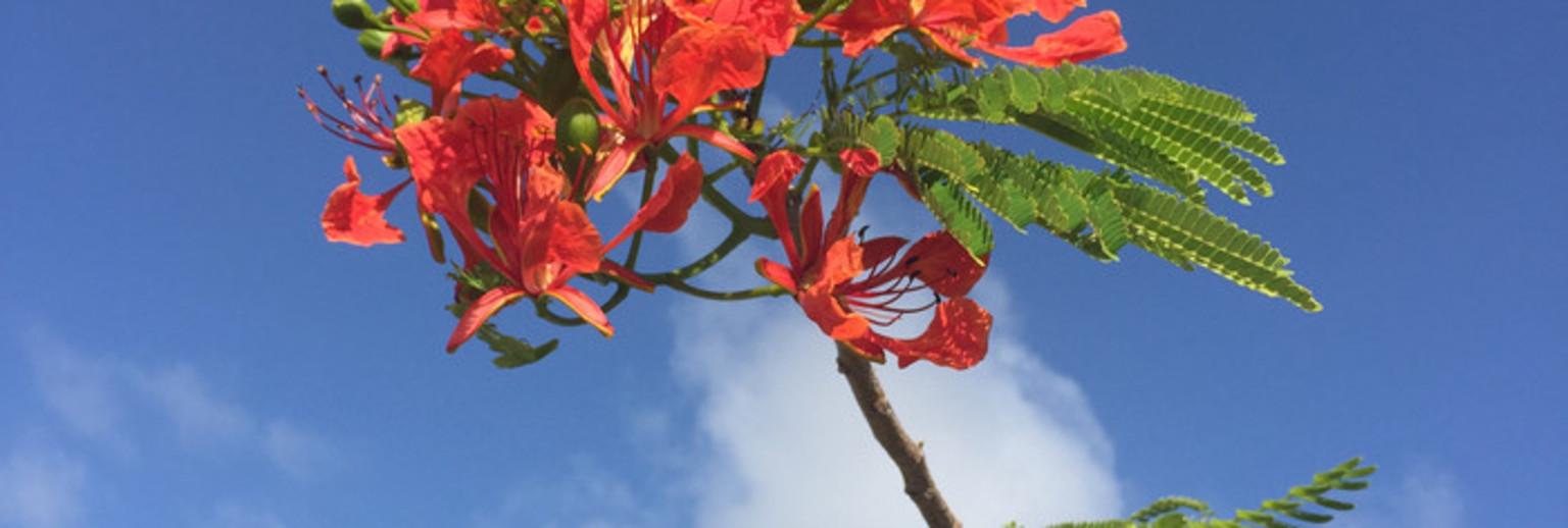 西太平洋的度假胜地,塞班岛上除了椰树以外道路两旁还种满了凤凰树