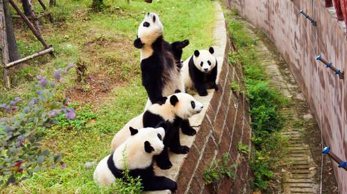 酒店享用完提供的早餐后,乘车前往【熊猫乐园】,目睹国宝的可爱与呆萌