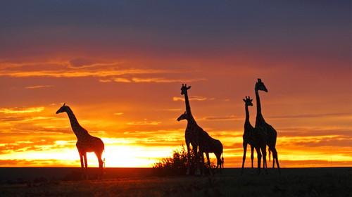 非洲肯尼亚-与狮共眠-奢享非洲-住进狂野动物世界12日游>越野游猎