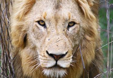 非洲狮野生动物园