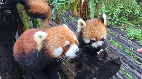 西双版纳-普洱国家森林公园-打洛4日游>边境风云,萌萌小熊猫,赠450元