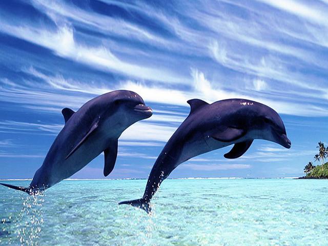 【全程体验】夏威夷欧胡岛观海豚一日游【接送+午餐+浮潜】