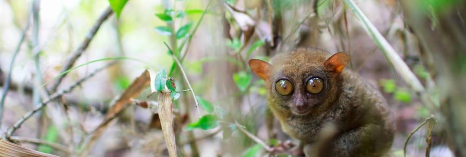 菲律宾眼镜猴保护区是薄荷岛著名的眼镜猴人工饲养参观点,在距塔比拉兰约10公里的科雷利亚(Corella),是一家对公众开放的眼镜猴保护中心。这些眼镜猴是菲律宾国宝,多生活在菲律宾南部,是濒危保护动物。眼镜猴的体型非常小,有着大而圆的眼睛,像带了副眼镜,所以得名眼镜猴。 它的尾巴很长,总是跳跃行动,习惯夜间活动,样子十分讨人喜爱。在薄荷岛千万不要错过在眼镜猴游客中心观赏这种可爱的小精灵。眼镜猴可以180度的转动头部,而且它还能跳到比自己搞20多倍的高度。