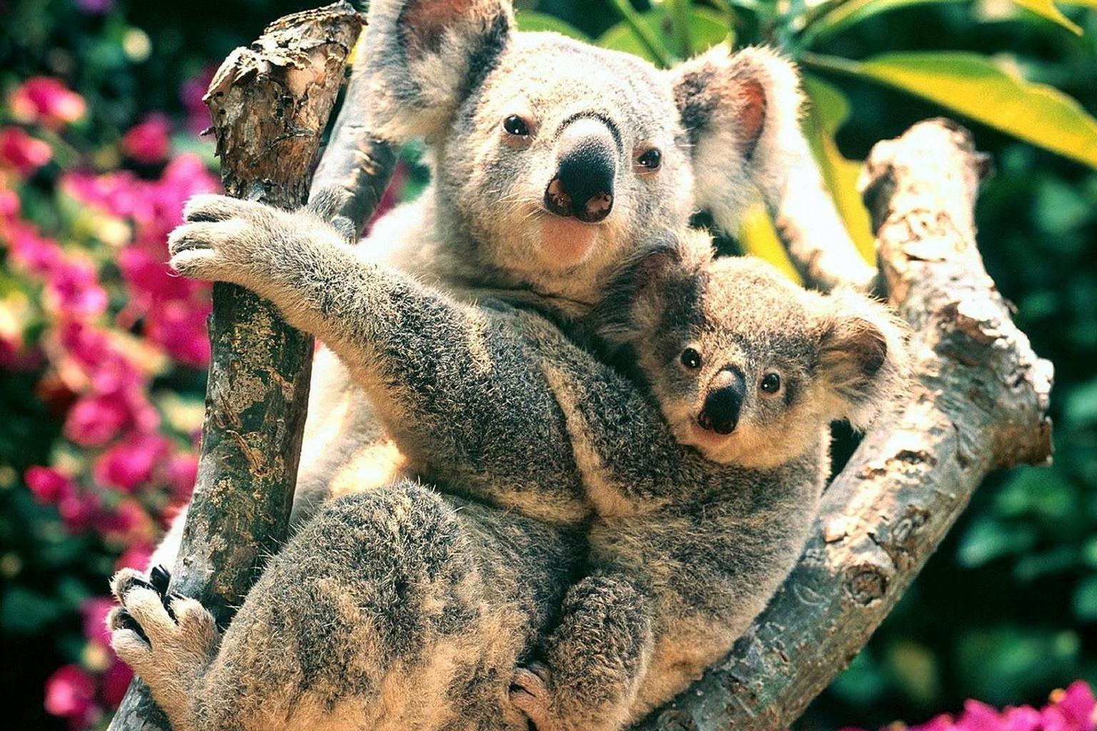 壁纸 动物 树袋熊 1536_1024