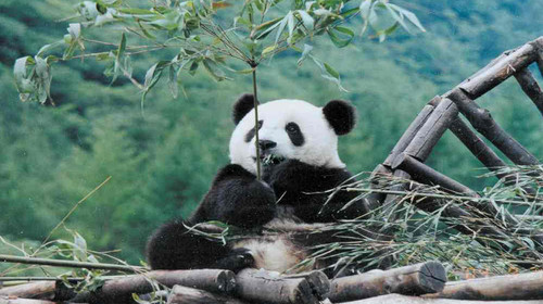 古熊猫图片大全可爱