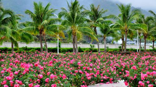 亚龙湾玫瑰谷图片