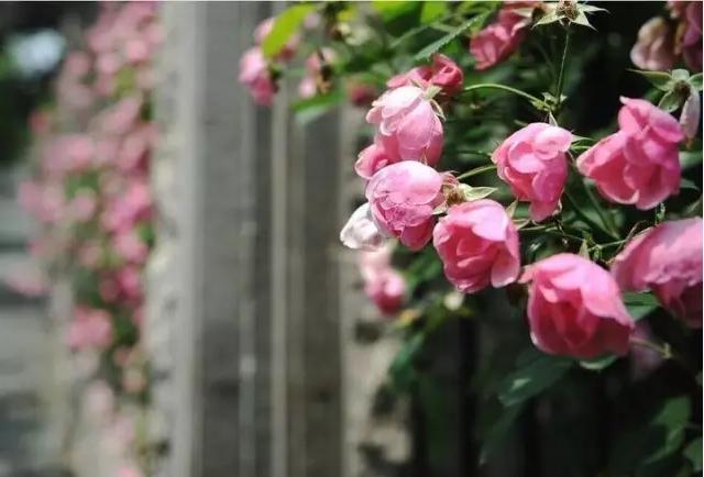 那便是铺满藤本玫瑰的百米玫瑰长廊,说是空中玫瑰花海一点不为过.