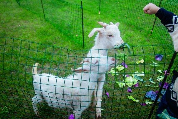 活泼可爱的山羊宝宝照片