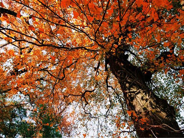 年代久远的的枫树,树高均在35米以上,每到秋季,巨大的枫树林一片火红图片