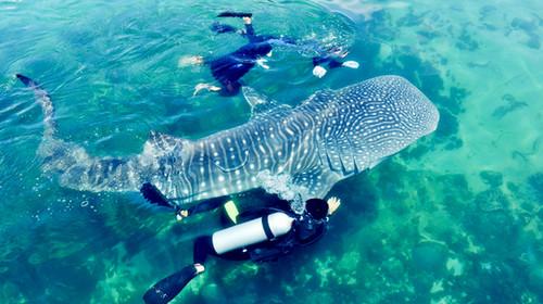 ( 自 2002 年华盛顿公约组织已将鲸鲨列为保育类动物,成年鲸鲨可长达