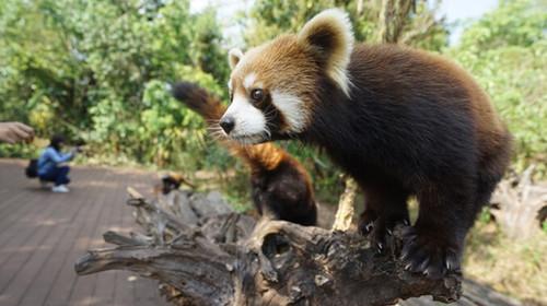 云南-普洱国家森林公园-西双版纳3飞6日游>小熊猫庄园独栋木屋,菩提
