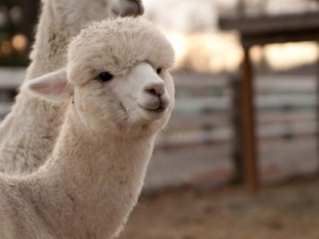 这里有小朋友无法抗拒的超可爱羊驼
