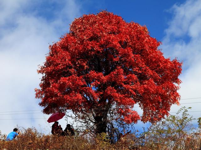 松树,柏树,枫树和各种乔木组成,还有不同色彩的针叶林,阔叶林,次生林