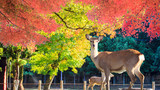 Nara deer roam free in Nara Park, Japan for adv or others purpose use