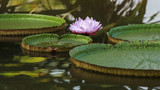 Lotus Water Lily floating on pond