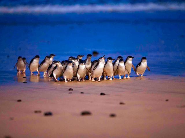 SkyCar 澳大利亚【墨尔本-小火车+企鹅岛】1日包车 中文司机 专车出行 时间自由