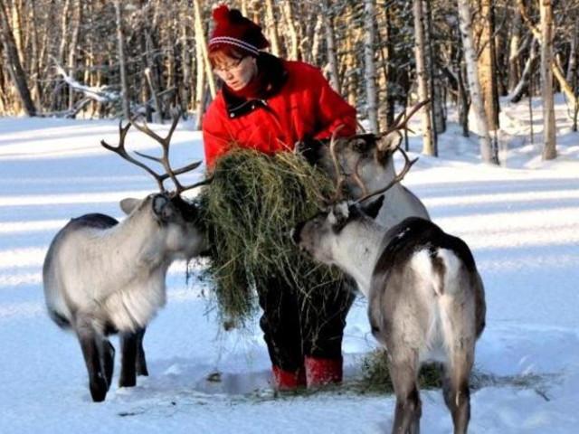 <芬兰 伊纳里 驯鹿农场+萨米人家文化参观3小时体验质量(往返接送)>