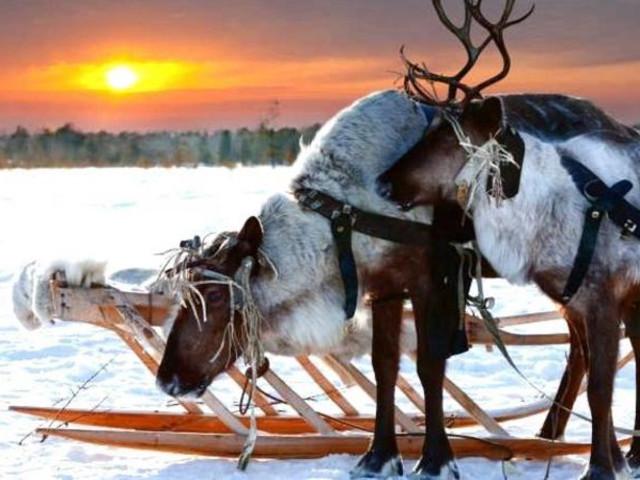 <芬兰 伊纳里 冰原传统驯鹿雪橇1.5小时体验(含龙8国际官网直营接送)>
