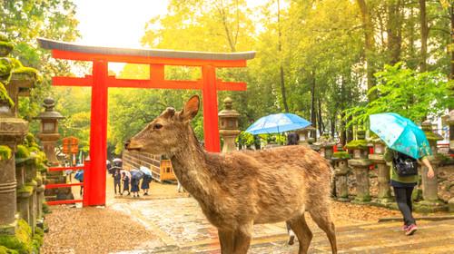 Wild deer in Nara Park at sunset light, Japan. Deer are symbol of Nara