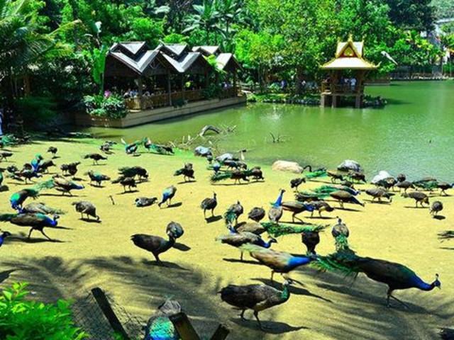行驶时间约40分钟)--【原始森林公园】(游览120分钟):动物表演,孔雀