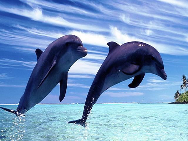 【观野生海豚】夏威夷大岛观海豚半日游【小食+水上项目】