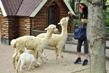 <上海野生动物园1日游>羊驼大象、袋鼠携儿带女和您亲密互动